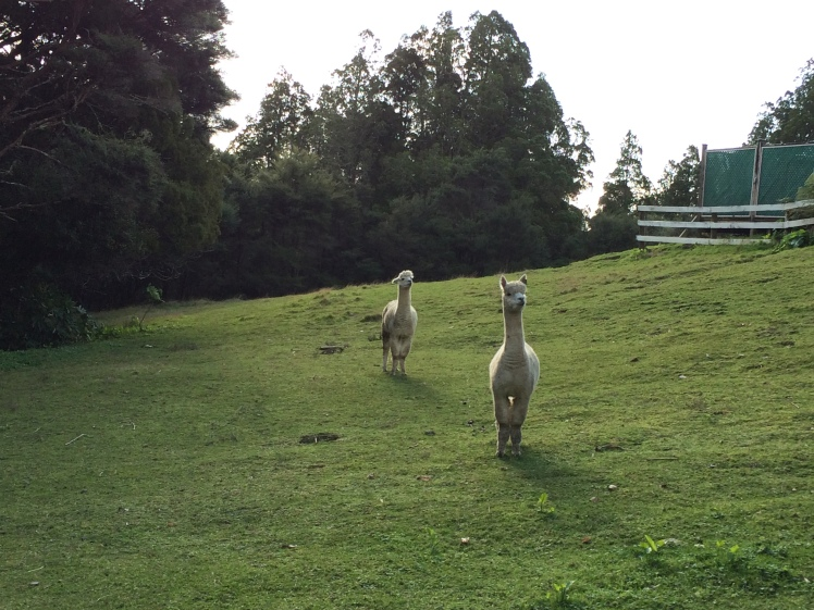 People here often have cute alpacas as a pets. Aren't they funny???